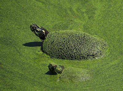 Photograph - Aquatic Turtle Jacuzzi by Shawna Rowe