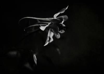 Photograph - Aquilegia Black And White by Rebecca Sherman