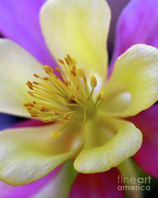 Photograph - Aquilegia Columbine by Stephen Melia