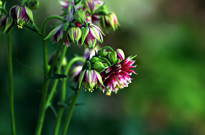 Photograph - Aquilegia In Red And White by Kathleen Stephens