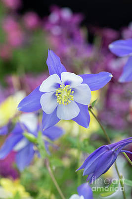 Photograph - Aquilegia Swan Blue by Tim Gainey