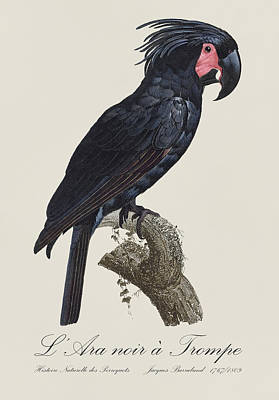 Fauna Painting - L' Ara Noir A Trompe / Palm Cockatoo - Restored 19th Century Parrot Illustration By Barraband by Jose Elias - Sofia Pereira