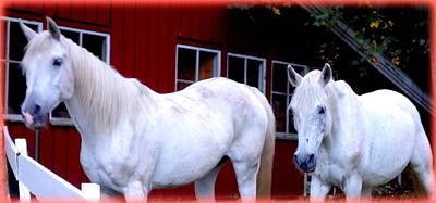 Arab Horses At Home, Behind Their Fence   Art Print by Hilde Widerberg
