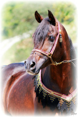 Photograph - Arabian Horse by Lilian Forsyth