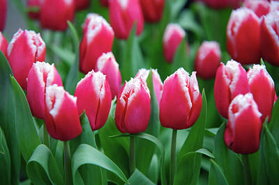 Photograph - Arabian Lady Tulips. Keukenhof by Jenny Rainbow