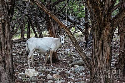 Photograph - Arabian Oryx by Douglas Barnard