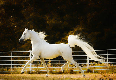 Horse Fence Photograph - Arabian Prince by Ron  McGinnis