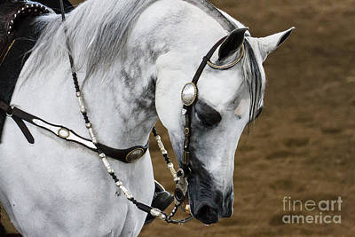 Photograph - Arabian Show Horse 12 by Ben Graham
