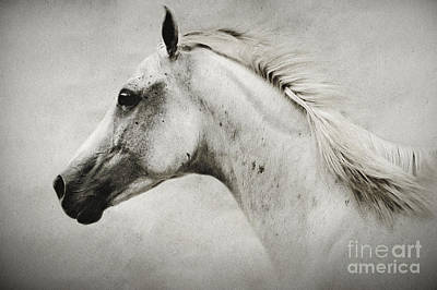 Photograph - Arabian White Horse Portrait by Dimitar Hristov