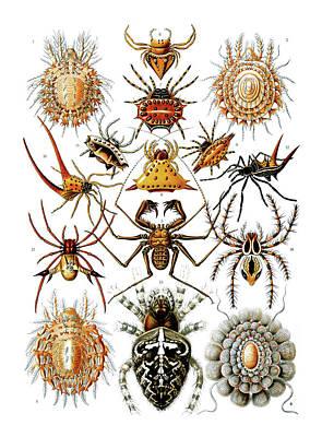 Arachnida Spiders Art Print by Ernst Haeckel
