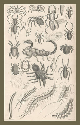 Beetle Drawing - Arachnides. Myriapoda by Dreyer Wildlife Print Collections