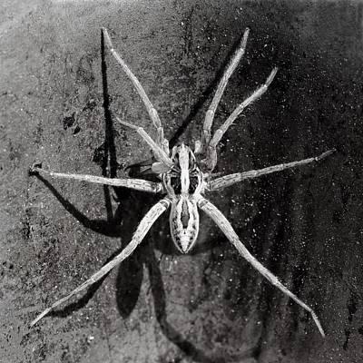 Photograph -  Arachnophobia - Wolf Spider by KJ Swan