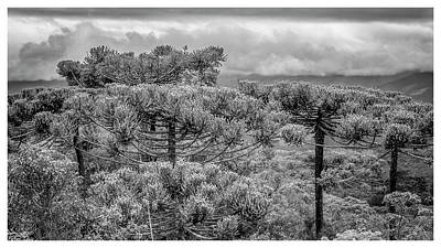Araucaria Angustifolia-campos Do Jordao-sp Art Print