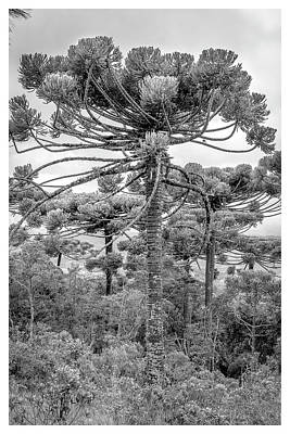 Photograph - Araucaria Angustifolia-curi-campos Do Jordao-sp by Carlos Mac