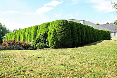 Photograph - Arbor Vitae Hedge In Lynden by Tom Cochran