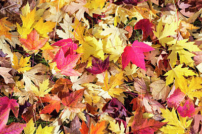 Photograph - Arboretum Maple Leaves by Steven Ralser
