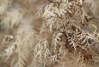 Photograph - Arborvitae Plant Minimal by Prakash Ghai
