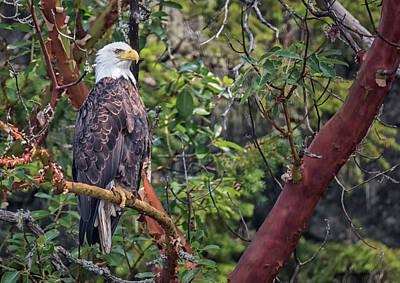 Photograph - Arbutus Eagle by Randy Hall