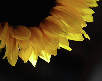 Photograph - Arc Of The Sunflower by Whispering Peaks Photography