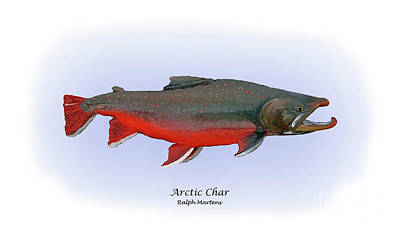Trout Painting - Arctic Charr by Ralph Martens