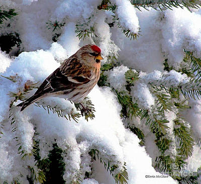 Photograph - Arctic Finch On Snow Covered Branches by Kevin J McGraw