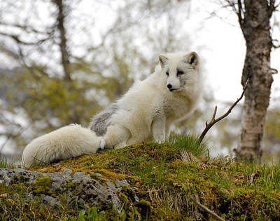 Painting - Arctic Fox 1 Norway by Robert SORENSEN
