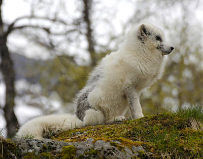 Painting - Arctic Fox 2 Norway by Robert SORENSEN