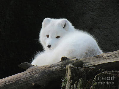 Photograph - Arctic Fox by Heike Ward