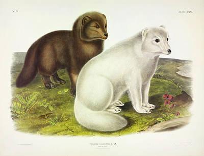 Arctic Fox Painting - Arctic Fox by John James Audubon
