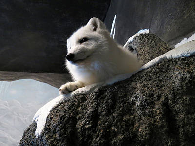 Photograph - Arctic Fox by Laurel Powell