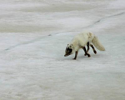 Arctic Fox On Ice Art Print by Anthony Jones