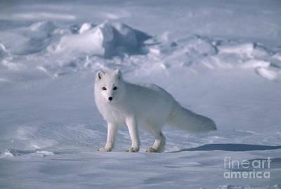 Photograph - Arctic Fox On The North Slope by Yva Momatiuk John Eastcott