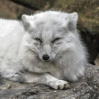 Photograph - Arctic Fox Portrait by William Bitman