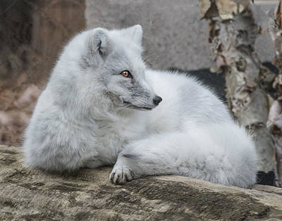 Arctic Fox Profile Art Print