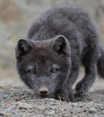 Photograph - Arctic Fox Pup - 8243,s by Wally Hampton