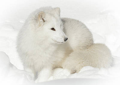Photograph - Arctic Fox Snow Bunny by Athena Mckinzie
