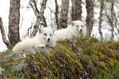 Painting - Arctic Foxes 5 Norway by Robert SORENSEN