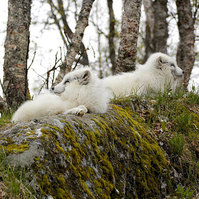Painting - Arctic Foxes 6 Norway by Robert SORENSEN