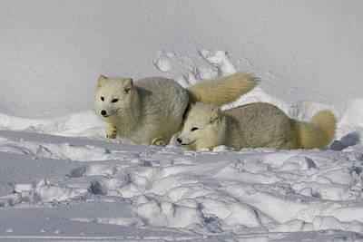 Photograph - Arctic Foxes by Steve McKinzie