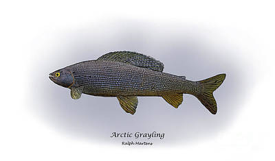 Arctic Grayling Art Print by Ralph Martens