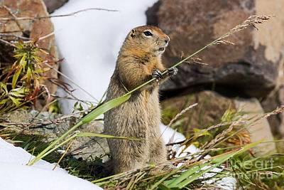Denali Photograph - Arctic Ground Squirrel - 001 by Olivier Parent