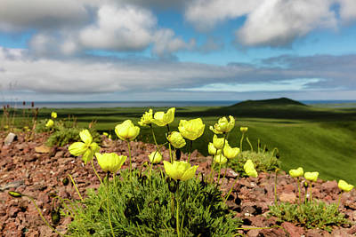 Alaska Photograph - Arctic Poppy by Ray Bulson