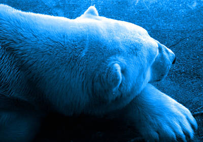 Of Bear Photograph - Arctic Slumber by Nick Gustafson