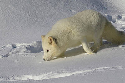 Photograph - Arctic Snow Fox by Steve McKinzie