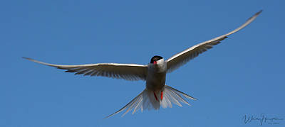 Photograph - Arctic Tern - 0278,s by Wally Hampton