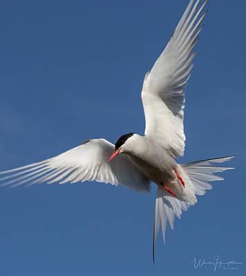 Photograph - Arctic Tern - 0282,s by Wally Hampton