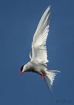 Photograph - Arctic Tern - 0433,s by Wally Hampton