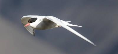 Wall Art - Photograph - Arctic Tern by Adrian O Brien