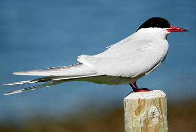 Photograph - Arctic Tern by C H Apperson