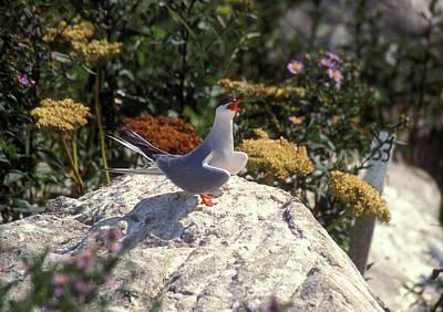 Machias Seal Island Photograph - Arctic Tern Calling by John Burk
